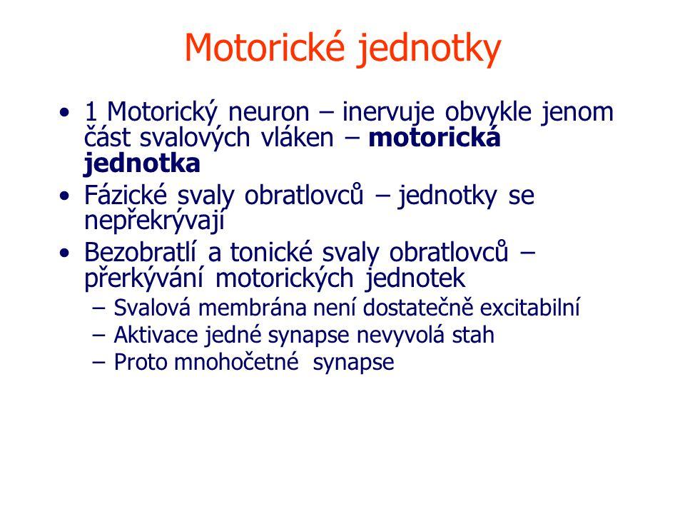 Motorické jednotky 1 Motorický neuron – inervuje obvykle jenom část svalových vláken – motorická jednotka Fázické svaly obratlovců – jednotky se nepřekrývají Bezobratlí a tonické svaly obratlovců – přerkývání motorických jednotek –Svalová membrána není dostatečně excitabilní –Aktivace jedné synapse nevyvolá stah –Proto mnohočetné synapse