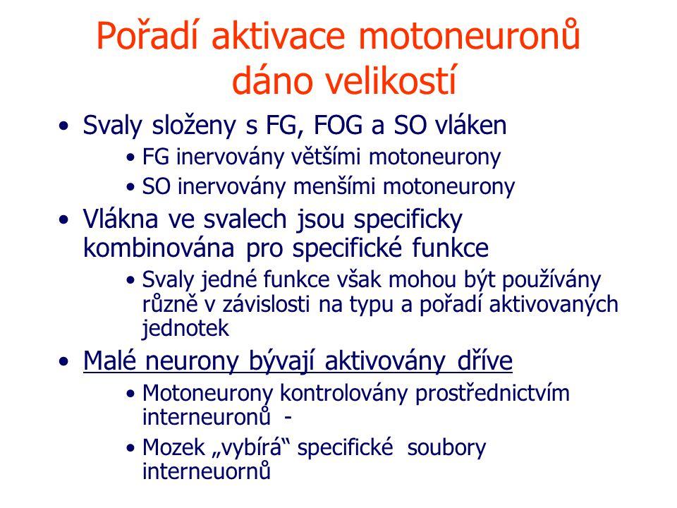 """Pořadí aktivace motoneuronů dáno velikostí Svaly složeny s FG, FOG a SO vláken FG inervovány většími motoneurony SO inervovány menšími motoneurony Vlákna ve svalech jsou specificky kombinována pro specifické funkce Svaly jedné funkce však mohou být používány různě v závislosti na typu a pořadí aktivovaných jednotek Malé neurony bývají aktivovány dříve Motoneurony kontrolovány prostřednictvím interneuronů - Mozek """"vybírá specifické soubory interneuornů"""
