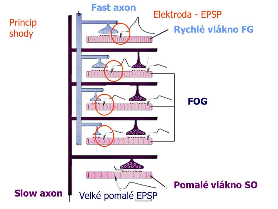 Slow axon Fast axon Pomalé vlákno SO Velké pomalé EPSP Elektroda - EPSP Rychlé vlákno FG FOG Princip shody