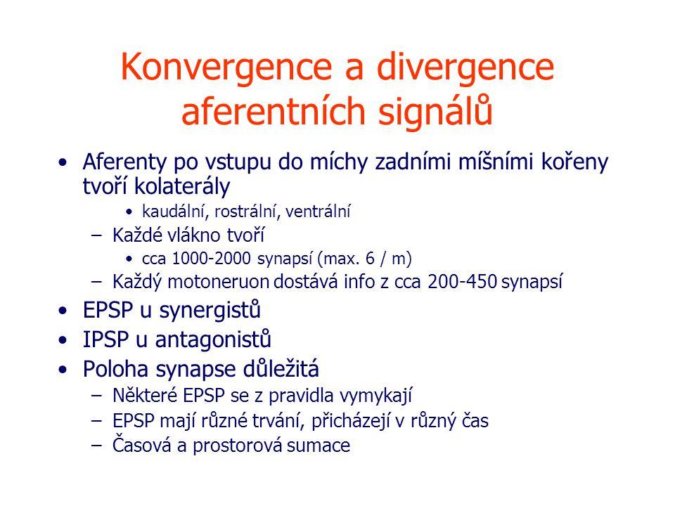 Konvergence a divergence aferentních signálů Aferenty po vstupu do míchy zadními míšními kořeny tvoří kolaterály kaudální, rostrální, ventrální –Každé vlákno tvoří cca 1000-2000 synapsí (max.