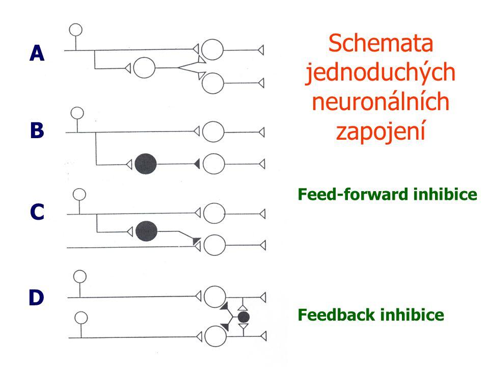 Schemata jednoduchých neuronálních zapojení A B C D Feed-forward inhibice Feedback inhibice