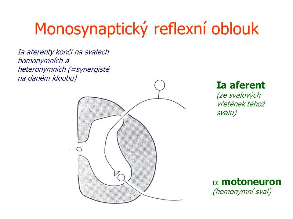 Monosynaptický reflexní oblouk Ia aferent (ze svalových vřetének téhož svalu)  motoneuron (homonymní sval) Ia aferenty končí na svalech homonymních a heteronymních (=synergisté na daném kloubu)