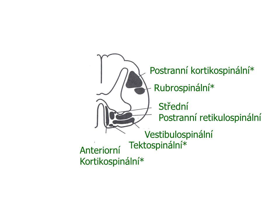 Postranní kortikospinální* Rubrospinální* Střední Postranní retikulospinální Vestibulospinální Anteriorní Kortikospinální* Tektospinální*