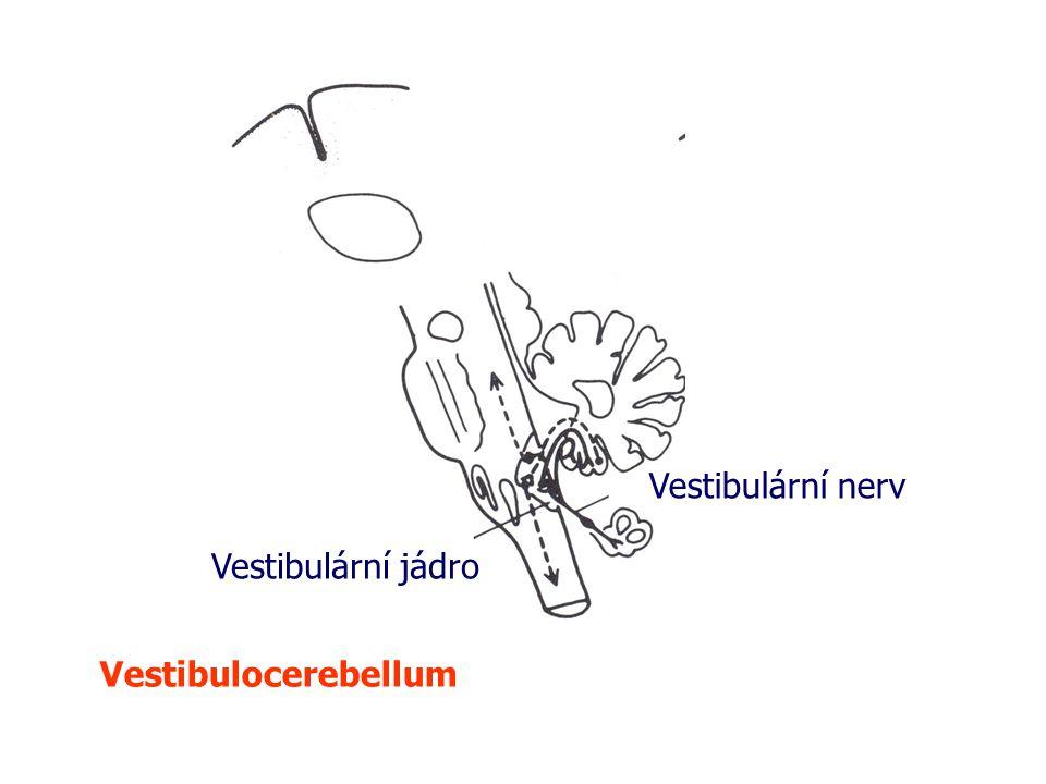 Vestibulocerebellum Vestibulární nerv Vestibulární jádro