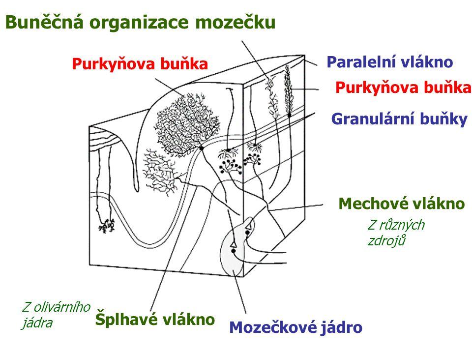 Purkyňova buňka Šplhavé vlákno Mozečkové jádro Mechové vlákno Granulární buňky Purkyňova buňka Paralelní vlákno Buněčná organizace mozečku Z různých zdrojů Z olivárního jádra