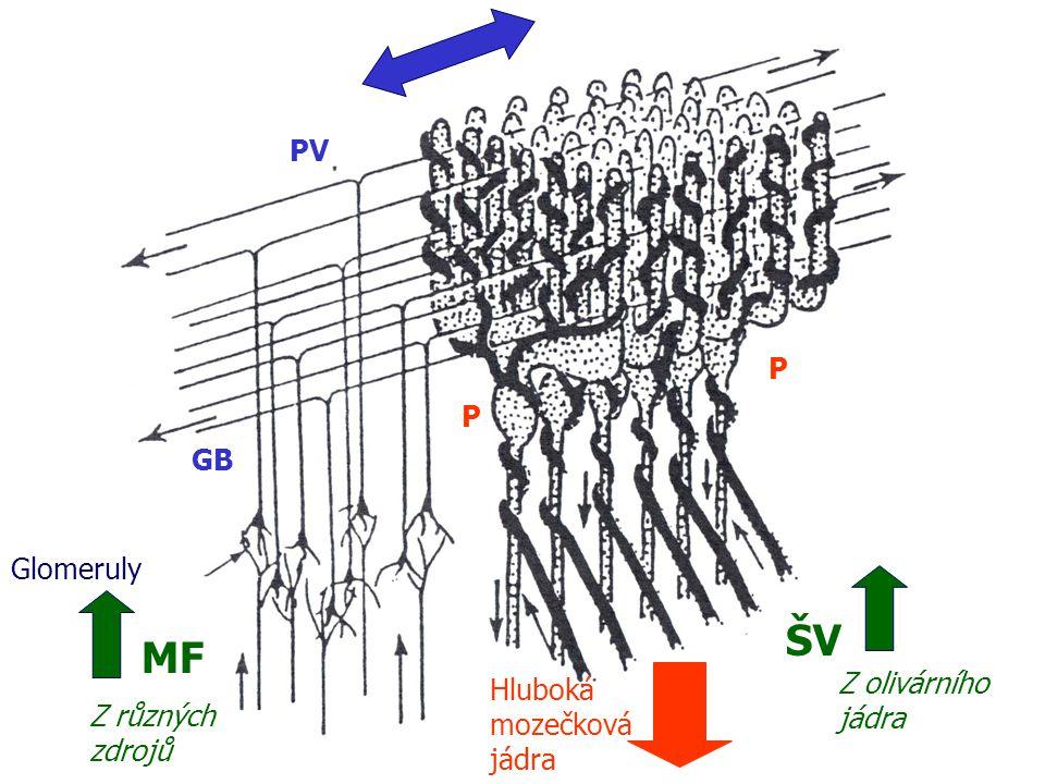 PV Glomeruly MF P ŠV P GB Z olivárního jádra Hluboká mozečková jádra Z různých zdrojů