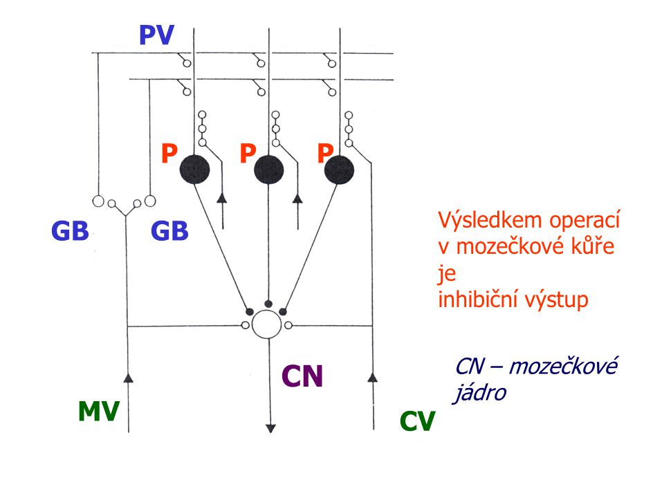 MV CV PPP PV GB CN Výsledkem operací v mozečkové kůře je inhibiční výstup CN – mozečkové jádro