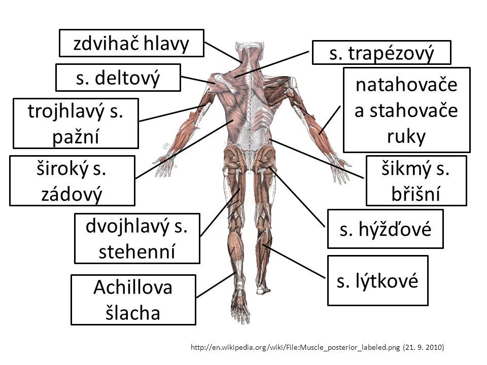 http://en.wikipedia.org/wiki/File:Muscle_posterior_labeled.png (21. 9. 2010) s. trapézový zdvihač hlavy s. deltový trojhlavý s. pažní natahovače a sta