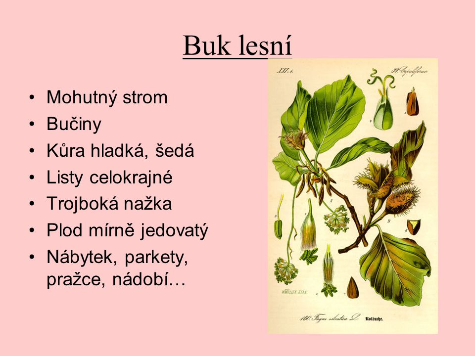 Buk lesní Mohutný strom Bučiny Kůra hladká, šedá Listy celokrajné Trojboká nažka Plod mírně jedovatý Nábytek, parkety, pražce, nádobí…