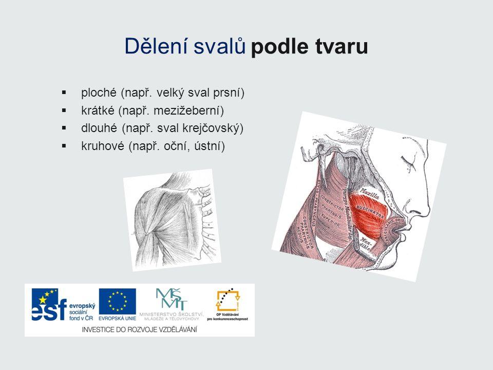 Dělení svalů podle tvaru  ploché (např. velký sval prsní)  krátké (např. mezižeberní)  dlouhé (např. sval krejčovský)  kruhové (např. oční, ústní)