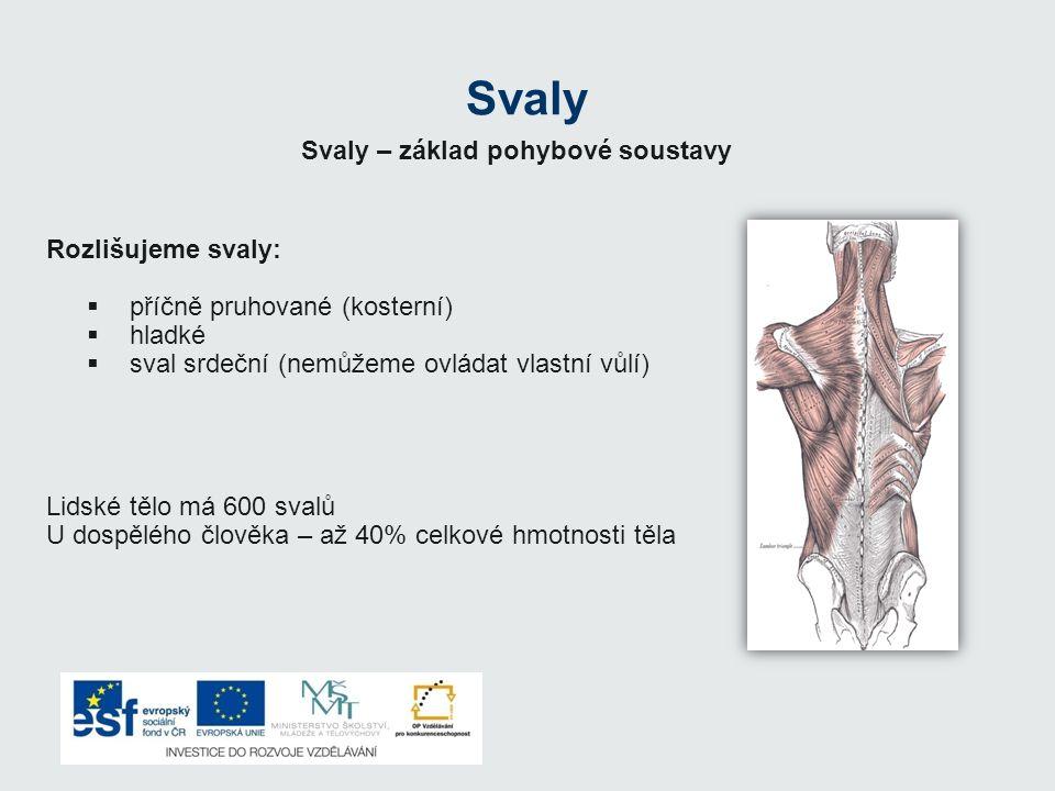 Svaly Rozlišujeme svaly:  příčně pruhované (kosterní)  hladké  sval srdeční (nemůžeme ovládat vlastní vůlí) Lidské tělo má 600 svalů U dospělého čl