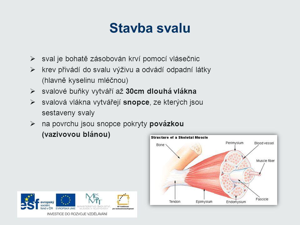 Stavba svalu II Svalové bříško – nejširší část svalu Šlachy – úpony svalu na kost Stahem svalového vlákna vzniká pohyb; při stahu – možnost zkrácení až na 1/3 své délky