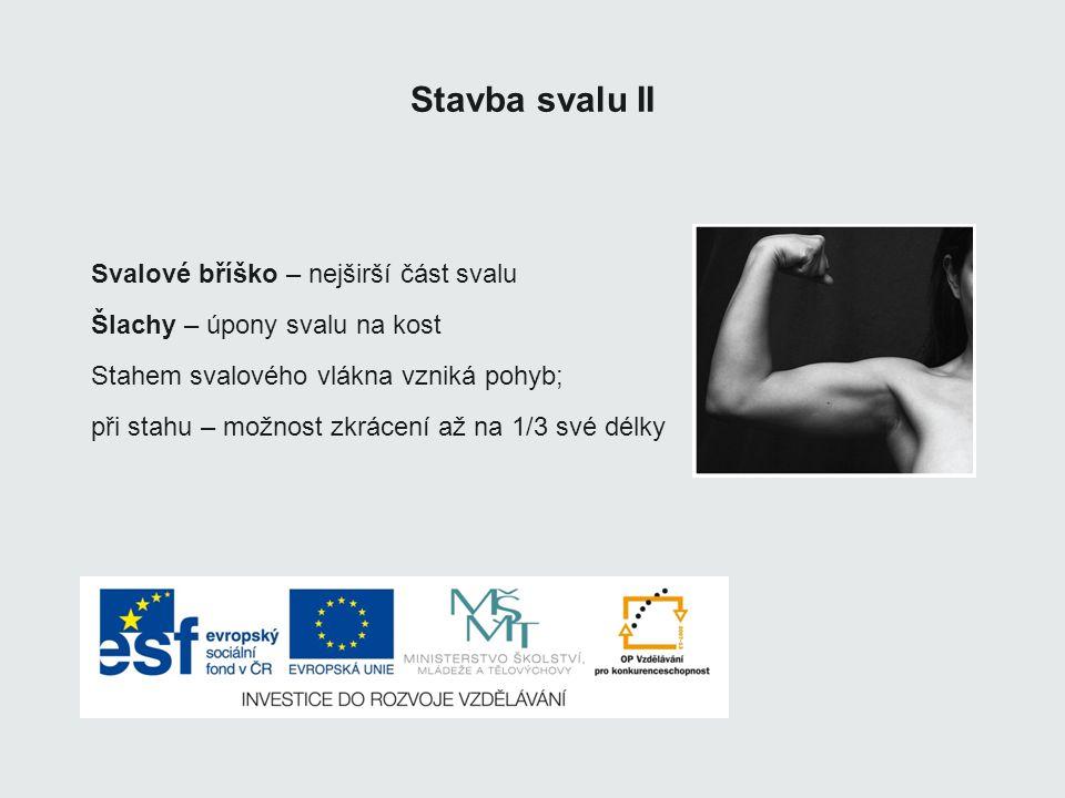 Stavba svalu II Svalové bříško – nejširší část svalu Šlachy – úpony svalu na kost Stahem svalového vlákna vzniká pohyb; při stahu – možnost zkrácení a