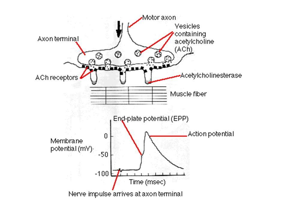 Mechanismy kontrakce VSM stimulus  Ca 2+ Ca 2+ /CaM Aktivní MLCK MLC MLC-p Aktivní MLCP Inaktivní MLCK relaxace kontrakce