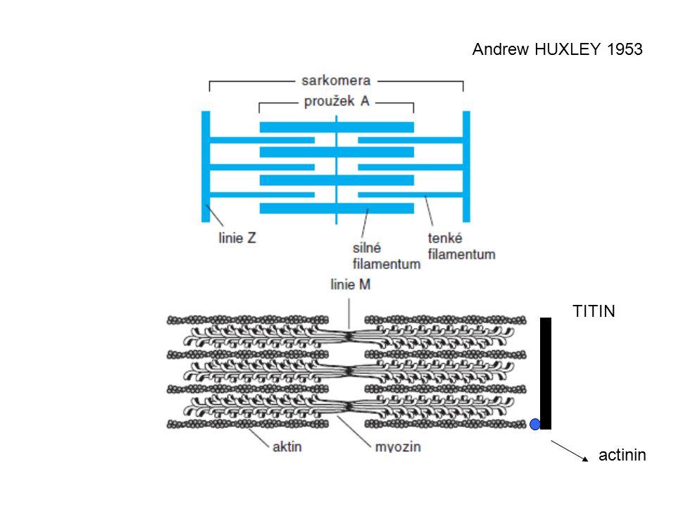 Mechanismy kontrakce VSM stimulus  Ca 2+ Ca 2+ /CaM Aktivní MLCK MLC MLC-p GTP-RhoA Rho kináza Aktivní MLCP Inaktivní MLCP Inaktivní MLCK relaxace kontrakce