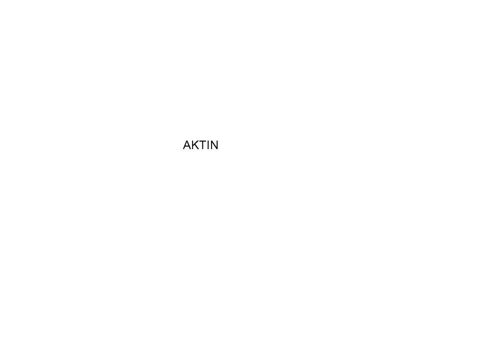 Aktin v přítomnosti Mg a ATP (těch je stále v buňce dost) se váže na myosin, když se přidá tropomyosinvazba se uvolní V přítomnosti Ca efekt troponin tropomyosinového komplexu na A - M vazbu mizí Ca se váže na troponin C - konformační změna a ta odkryje vazebná místa aktinu