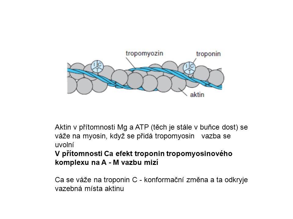 Aktin v přítomnosti Mg a ATP (těch je stále v buňce dost) se váže na myosin, když se přidá tropomyosinvazba se uvolní V přítomnosti Ca efekt troponin