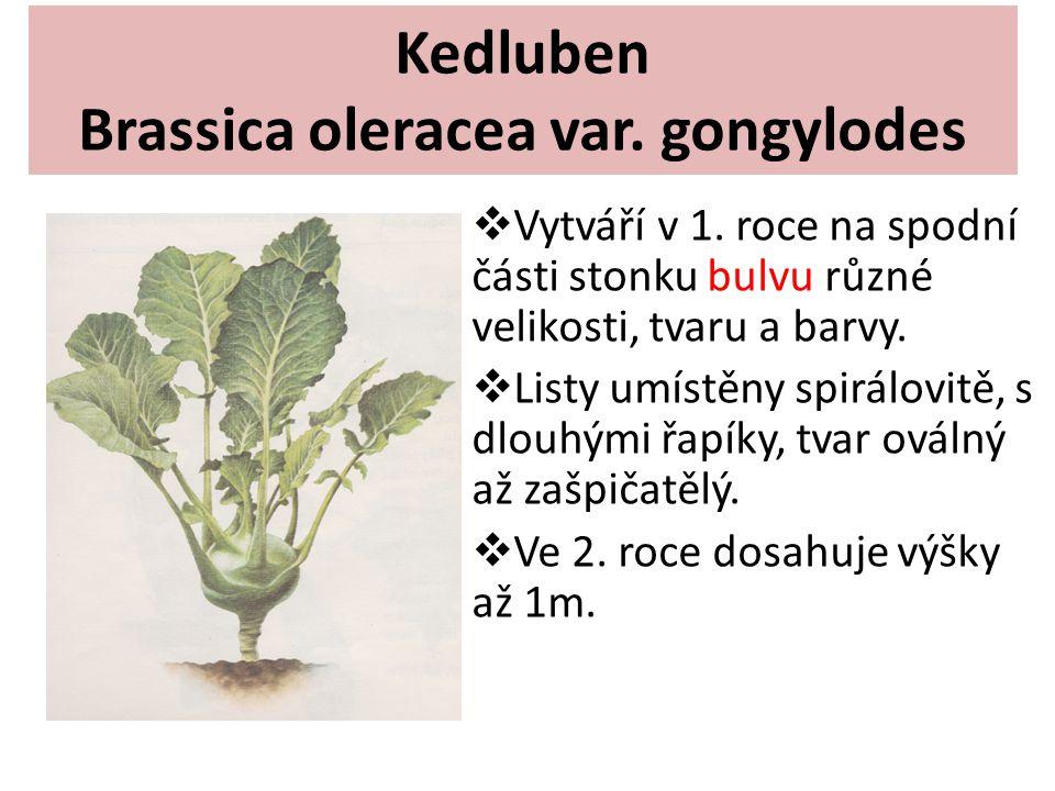 Kedluben Brassica oleracea var. gongylodes  Vytváří v 1. roce na spodní části stonku bulvu různé velikosti, tvaru a barvy.  Listy umístěny spirálovi