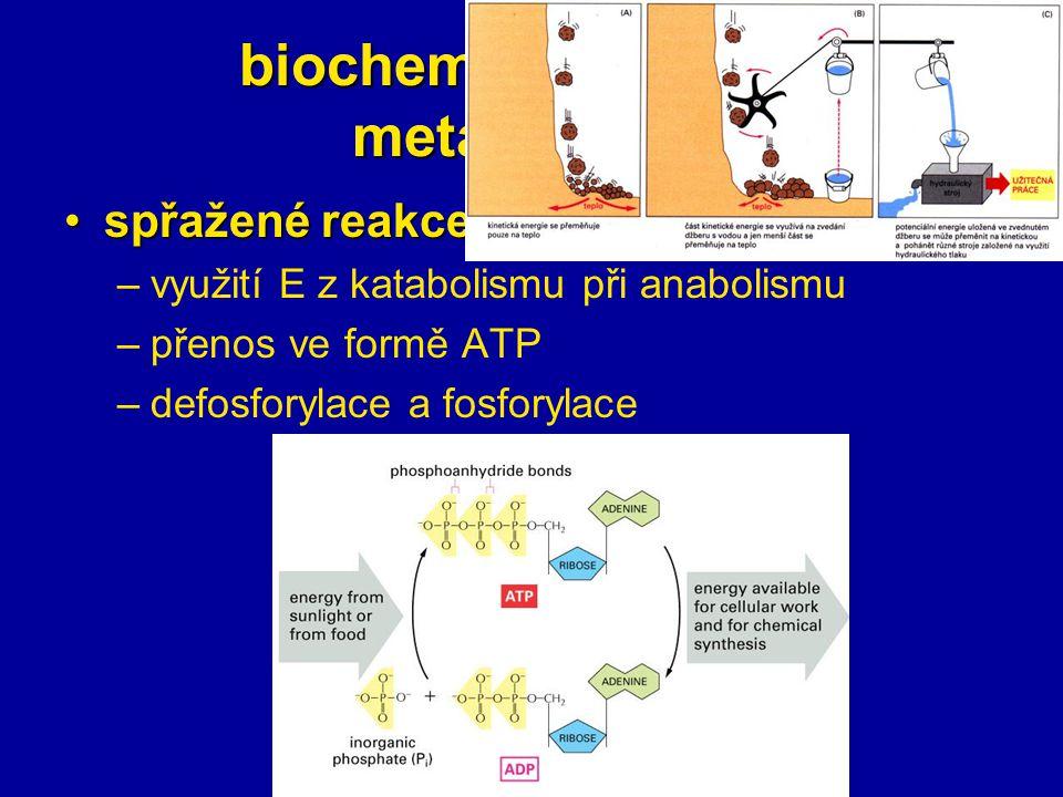 biochemické základy metabolismu spřažené reakcespřažené reakce –využití E z katabolismu při anabolismu –přenos ve formě ATP –defosforylace a fosforyla