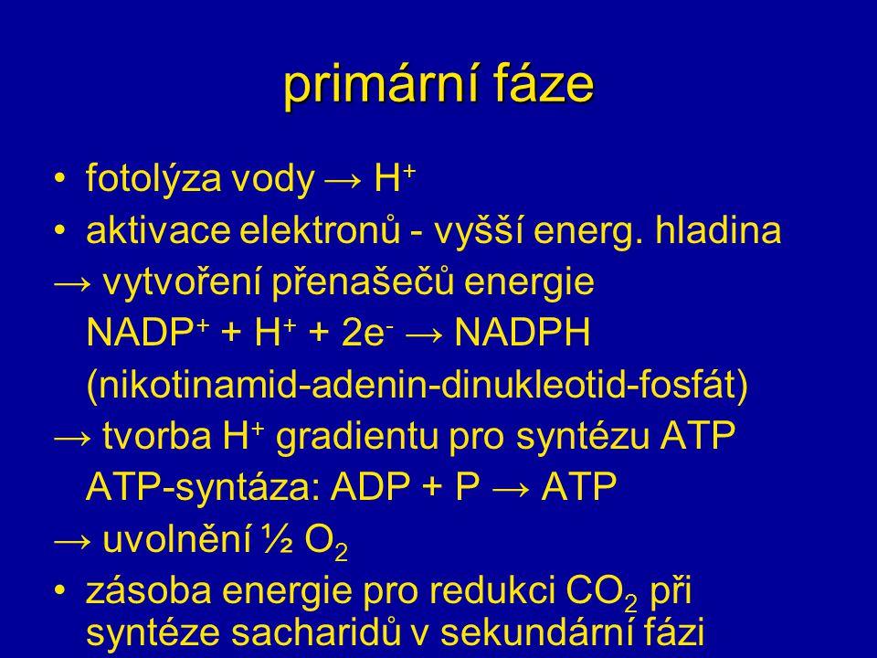 primární fáze fotolýza vody → H + aktivace elektronů - vyšší energ. hladina → vytvoření přenašečů energie NADP + + H + + 2e - → NADPH (nikotinamid-ade