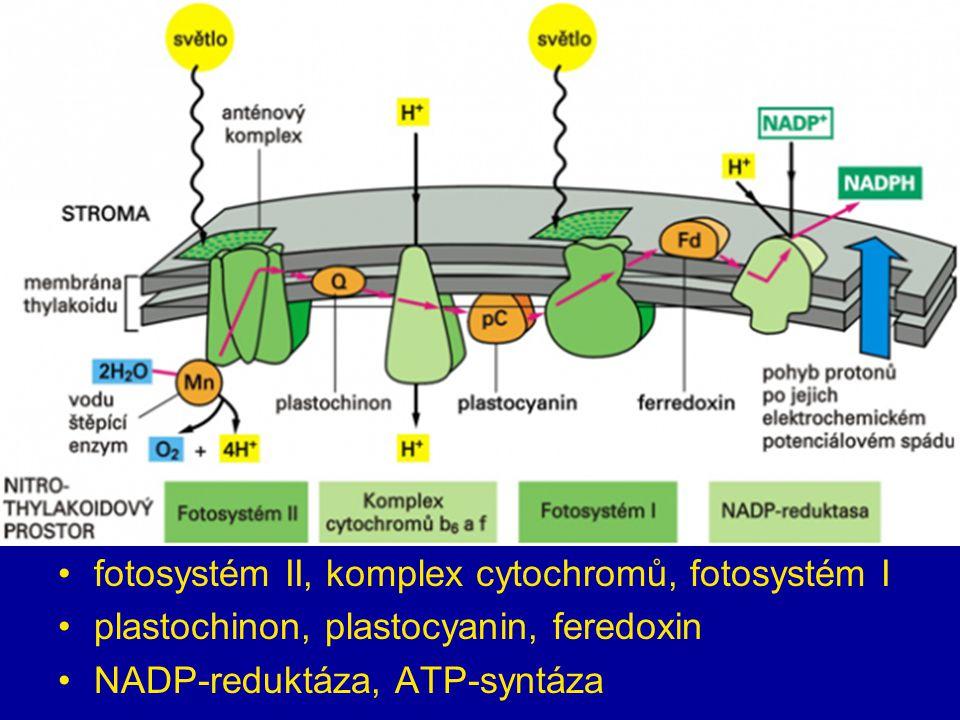 fotosystém II, komplex cytochromů, fotosystém I plastochinon, plastocyanin, feredoxin NADP-reduktáza, ATP-syntáza