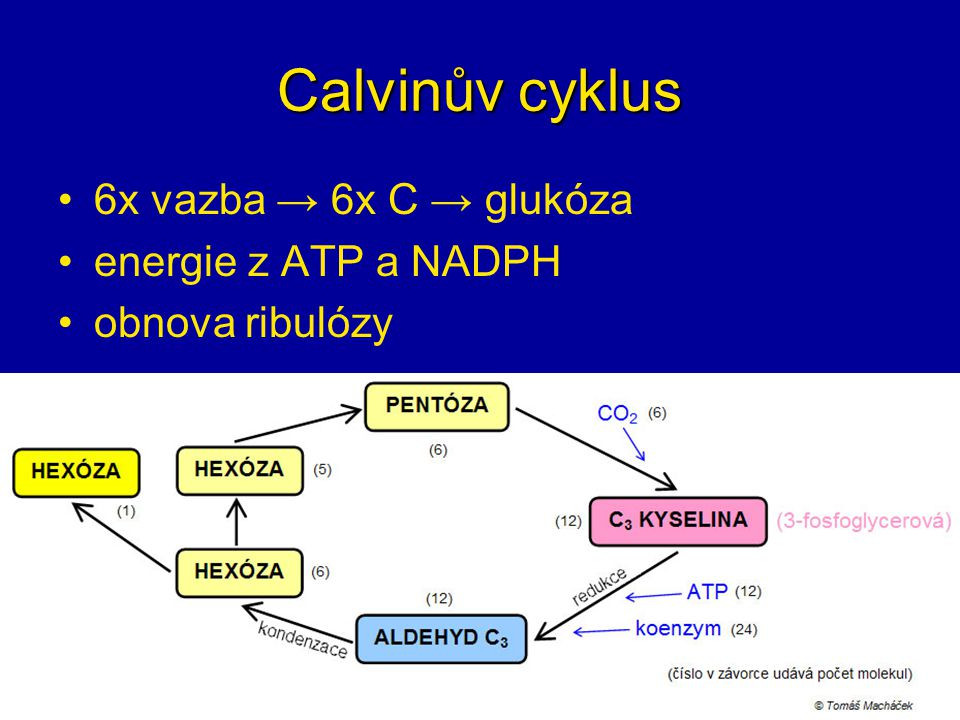 Calvinův cyklus 6x vazba → 6x C → glukóza energie z ATP a NADPH obnova ribulózy