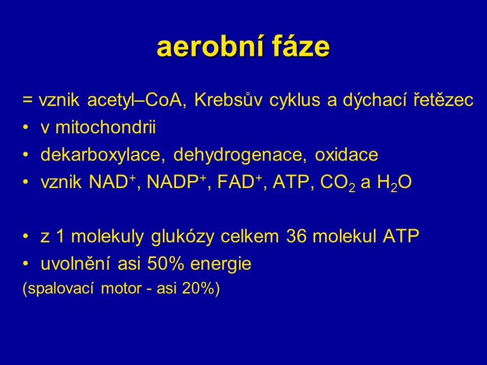 aerobní fáze = vznik acetyl–CoA, Krebsův cyklus a dýchací řetězec v mitochondrii dekarboxylace, dehydrogenace, oxidace vznik NAD +, NADP +, FAD +, ATP