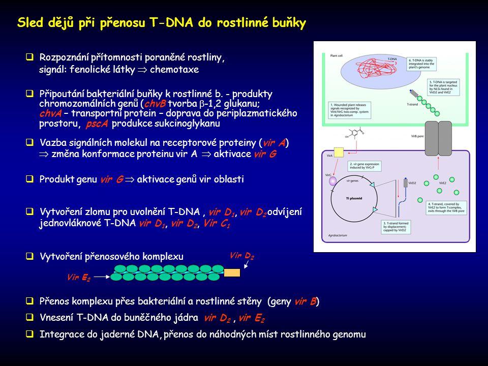 Sled dějů při přenosu T-DNA do rostlinné buňky  Rozpoznání přítomnosti poraněné rostliny, signál: fenolické látky  chemotaxe  Připoutání bakteriáln