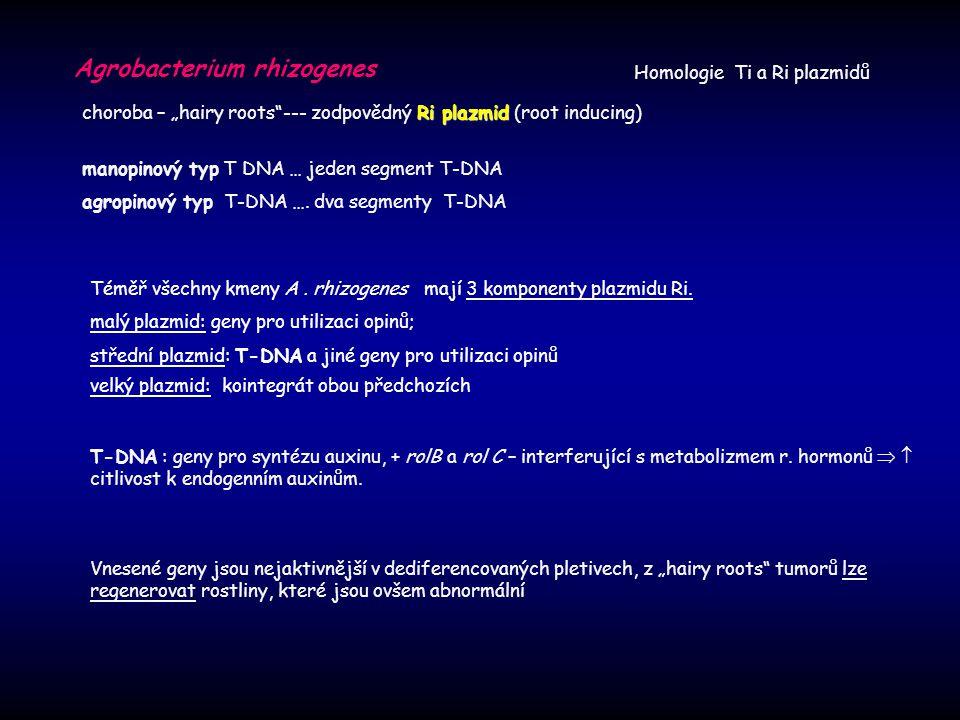 "Agrobacterium rhizogenes Ri plazmid choroba – ""hairy roots""--- zodpovědný Ri plazmid (root inducing) manopinový typ T DNA … jeden segment T-DNA agropi"