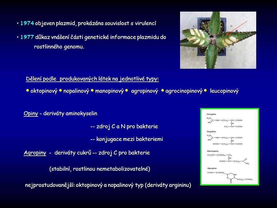 Agrobacterium tumefaciens Ti plazmid Ti plazmid (150-200kb) T-DNA T-DNA - oblast ohraničená specifickými sekvencemi, přenášená do jádra rostlinné buňky Vir oblast T-DNA – nopalinový typ : geny kontrolující syntézu auxinů - - cytokininů geny ovlivňující rychlost růstu tumorů geny pro syntézu nopalinů geny pro syntézu nosičových proteinů nopalinový typ T- DNA 1 segment (23kb) oktopinový typ T-DNA 2 segmenty (13,6; 7kb) T-DNA – oktopinový typ T R - syntéza oktopinů T L - tumorový růst T-DNA Z infikovaných buněk nelze regenerovat rostlinu Replikační počátek Katabolizmus opinů Konjugativní přenos