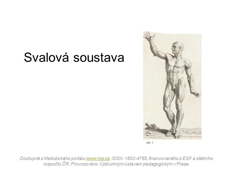 obr.2 Svalová tkáň Pohyb těla i jeho jednotlivých částí vykonávají svaly, tj.