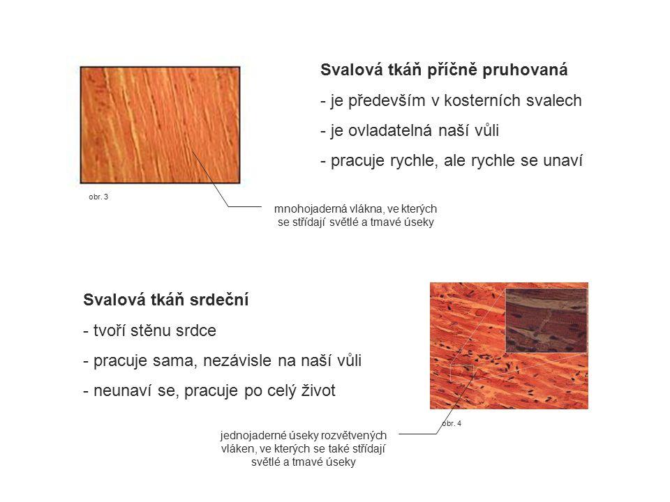 obr. 4 obr. 3 Svalová tkáň příčně pruhovaná - je především v kosterních svalech - je ovladatelná naší vůli - pracuje rychle, ale rychle se unaví Svalo
