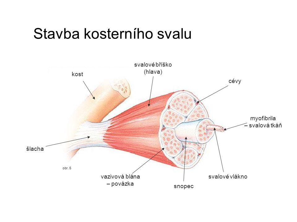 obr. 5 Stavba kosterního svalu kost šlacha svalové vlákno snopec svalové bříško (hlava) cévy myofibrila – svalová tkáň vazivová blána – povázka