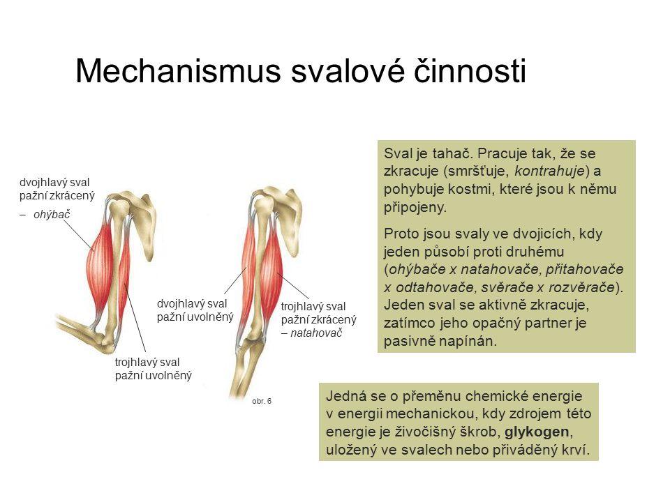 obr. 6 Mechanismus svalové činnosti Sval je tahač. Pracuje tak, že se zkracuje (smršťuje, kontrahuje) a pohybuje kostmi, které jsou k němu připojeny.