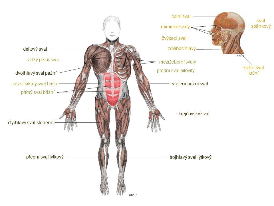 obr. 7 obr. 8 mimické svaly zdvihač hlavy deltový sval velký prsní sval dvojhlavý sval pažní zevní šikmý sval břišní přímý sval břišní čtyřhlavý sval