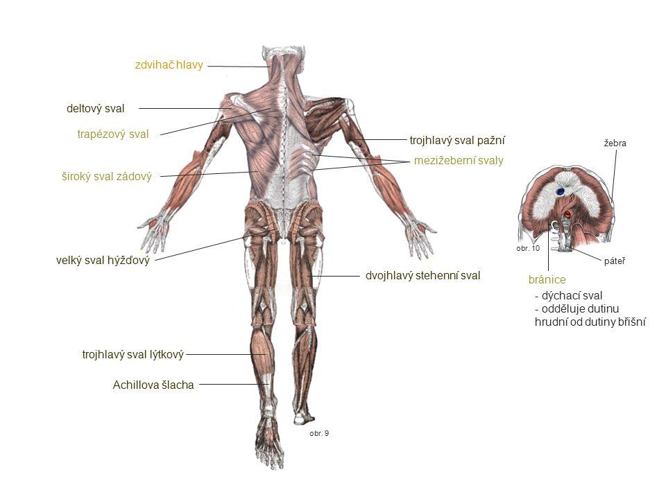obr. 10 obr. 9 zdvihač hlavy trapézový sval deltový sval trojhlavý sval pažní široký sval zádový velký sval hýžďový trojhlavý sval lýtkový Achillova š