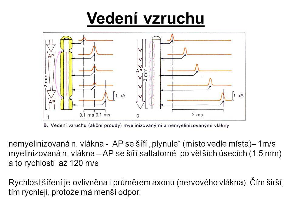 """nemyelinizovaná n. vlákna - AP se šíří """"plynule"""" (místo vedle místa)– 1m/s myelinizovaná n. vlákna – AP se šíří saltatorně po větších úsecích (1.5 mm)"""