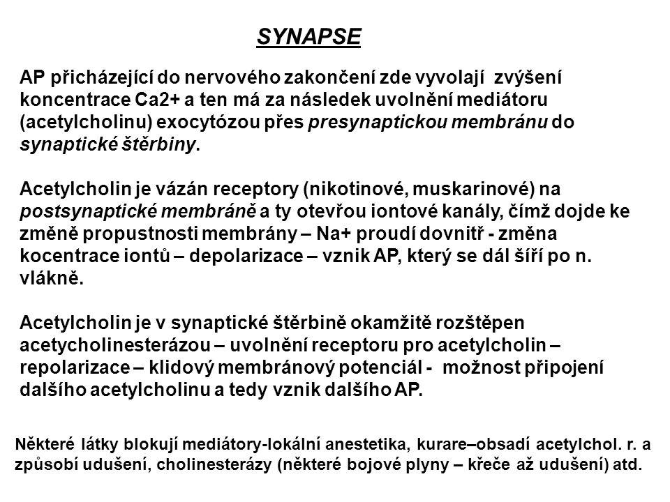 SYNAPSE AP přicházející do nervového zakončení zde vyvolají zvýšení koncentrace Ca2+ a ten má za následek uvolnění mediátoru (acetylcholinu) exocytózo