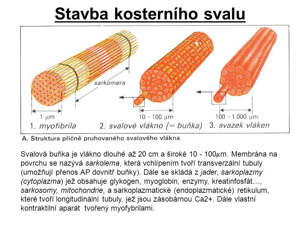 Stavba kosterního svalu Svalová buňka je vlákno dlouhé až 20 cm a široké 10 - 100  m. Membrána na povrchu se nazývá sarkolema, která vchlípením tvoří