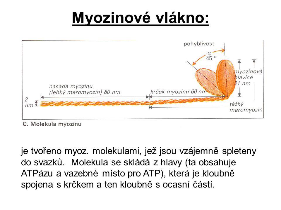 Myozinové vlákno: je tvořeno myoz. molekulami, jež jsou vzájemně spleteny do svazků. Molekula se skládá z hlavy (ta obsahuje ATPázu a vazebné místo pr