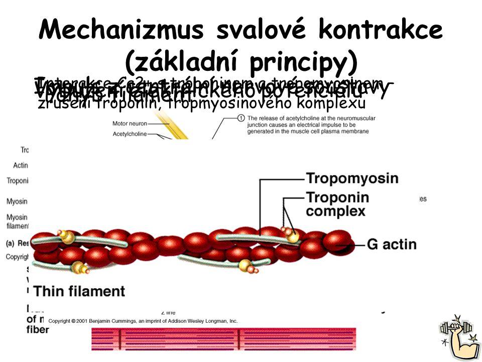 Mechanizmus svalové kontrakce (základní principy) Impuls z centrální nervové soustavy Vybuzení elektrického potenciálu Interakce Ca2+ s troponinem a t