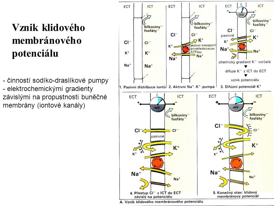 Vznik klidového membránového potenciálu - činností sodíko-draslíkové pumpy - elektrochemickými gradienty závislými na propustnosti buněčné membrány (i