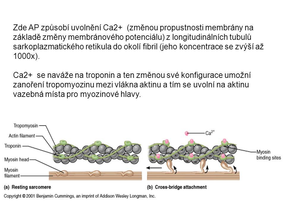 Zde AP způsobí uvolnění Ca2+ (změnou propustnosti membrány na základě změny membránového potenciálu) z longitudinálních tubulů sarkoplazmatického reti