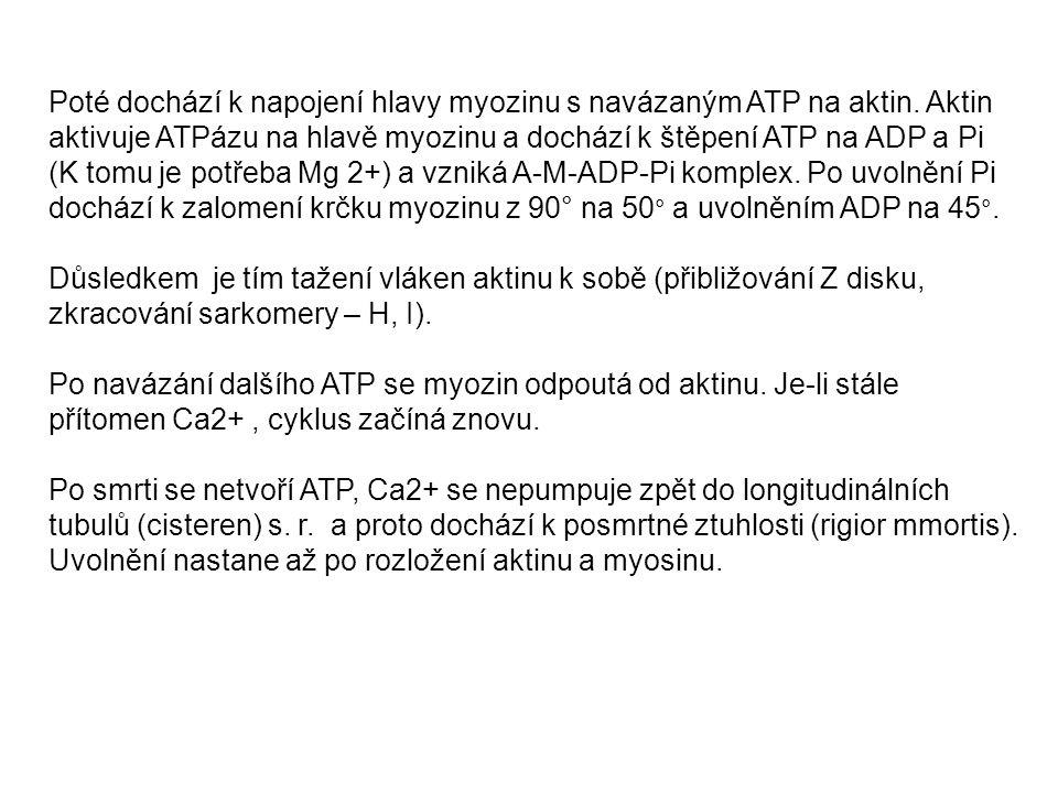 Poté dochází k napojení hlavy myozinu s navázaným ATP na aktin. Aktin aktivuje ATPázu na hlavě myozinu a dochází k štěpení ATP na ADP a Pi (K tomu je