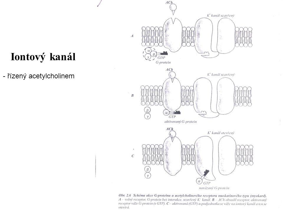 Iontový kanál - řízený acetylcholinem