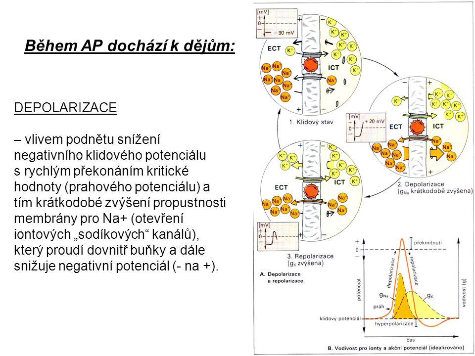 Během AP dochází k dějům: DEPOLARIZACE – vlivem podnětu snížení negativního klidového potenciálu s rychlým překonáním kritické hodnoty (prahového pote