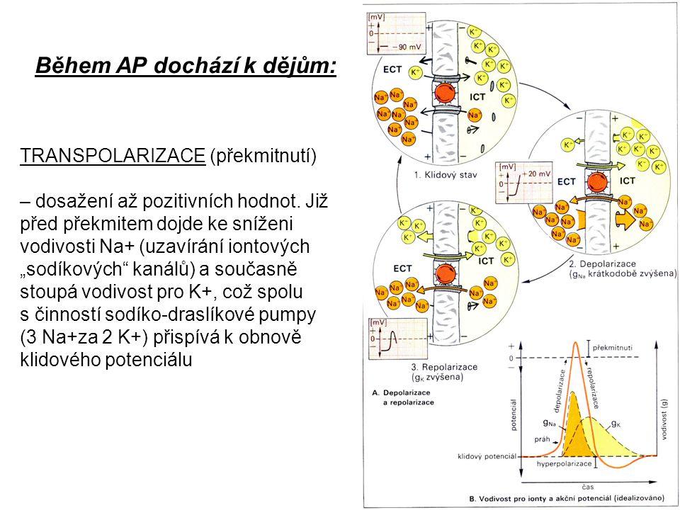 Během AP dochází k dějům: REPOLARIZACE – obnova klidového stavu (+ ven a – uvnitř), tedy nastolení klidového membránového potenciálu HYPERPOLARIZACE – dosažení vyšších záporných hodnot, než je klidový membránový potenciál.