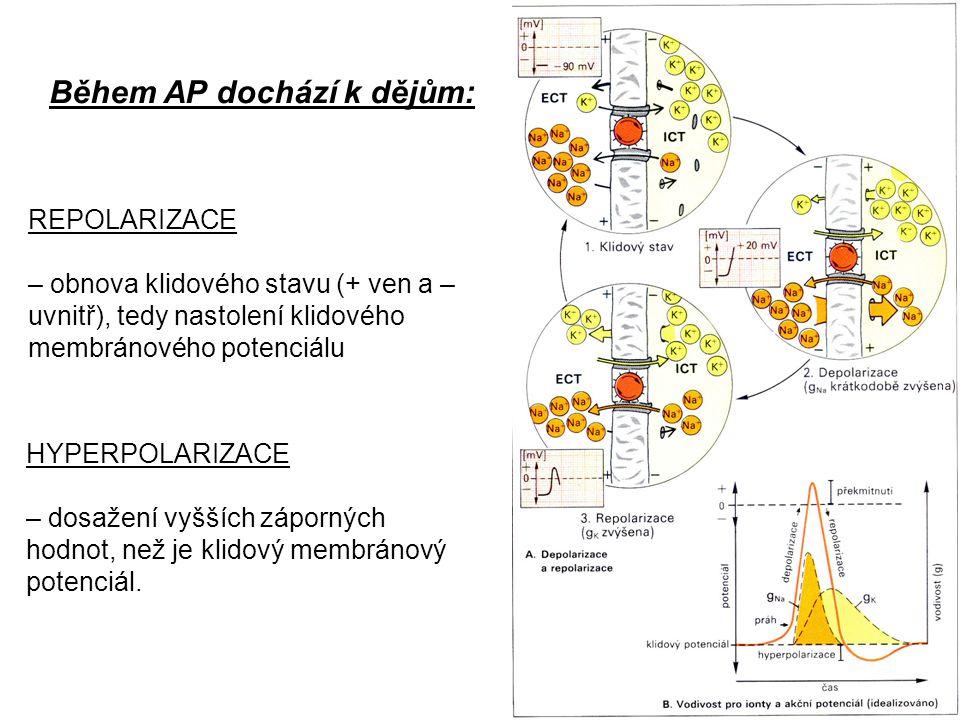 Během AP dochází k dějům: REPOLARIZACE – obnova klidového stavu (+ ven a – uvnitř), tedy nastolení klidového membránového potenciálu HYPERPOLARIZACE –