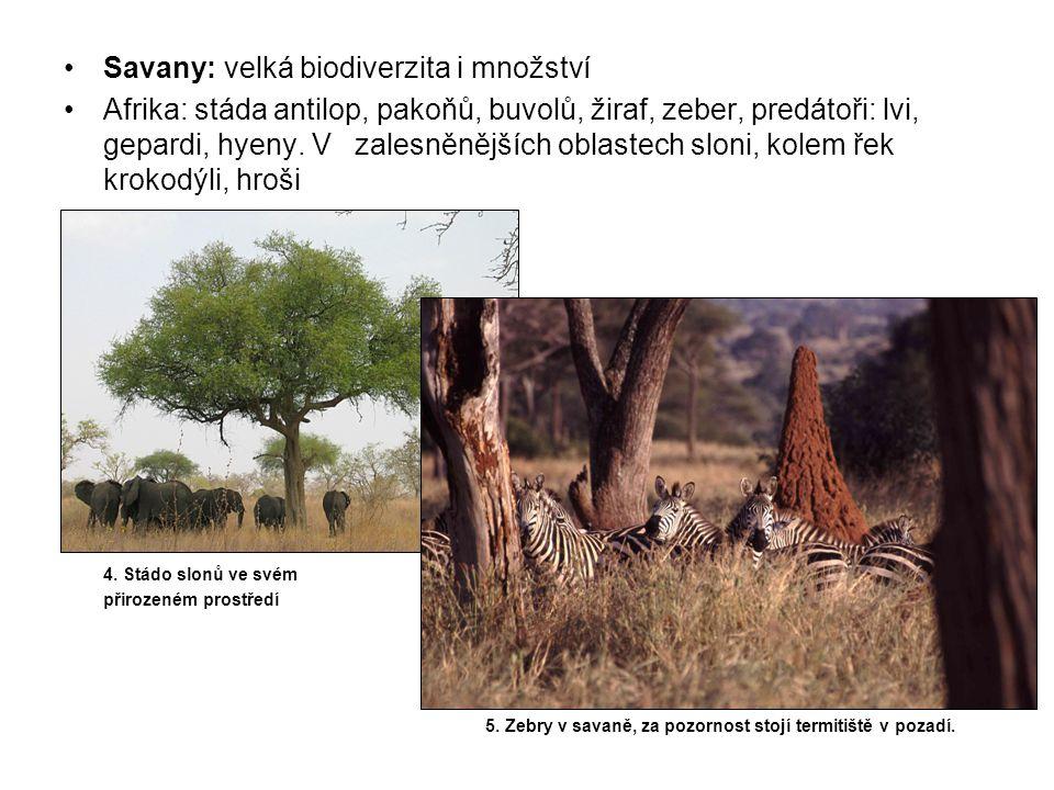 Savany: velká biodiverzita i množství Afrika: stáda antilop, pakoňů, buvolů, žiraf, zeber, predátoři: lvi, gepardi, hyeny.