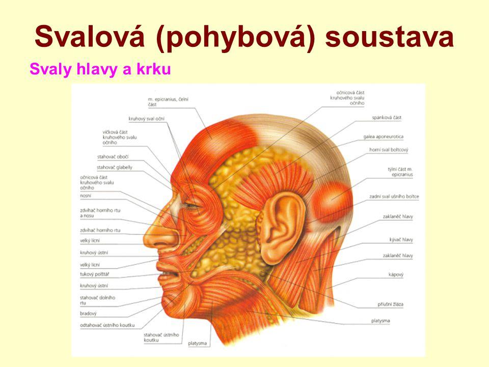 Svalová (pohybová) soustava Svaly hlavy a krku